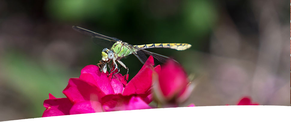 BANNER_IMAGE_Dragonfly